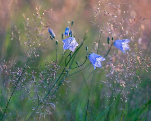Wk29  Rb  Harebells  Nr  Hawnby   North  Yorkshire  Moors