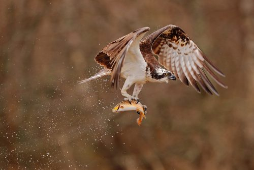 Wk33  Osprey Clutching Brown Trout