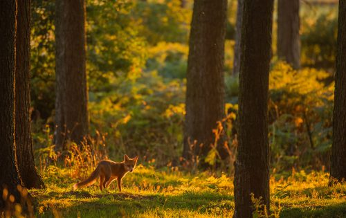 Wk45  Red Fox Adult Habitat Backlit  Ap1