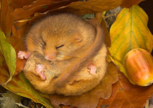 Wk47  Dg  Dormouse  Hibernating