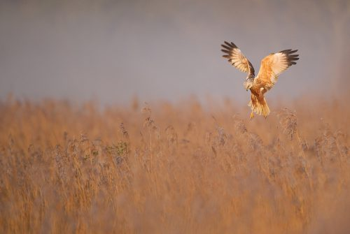 WK18 Marsh Harrier mist AP1