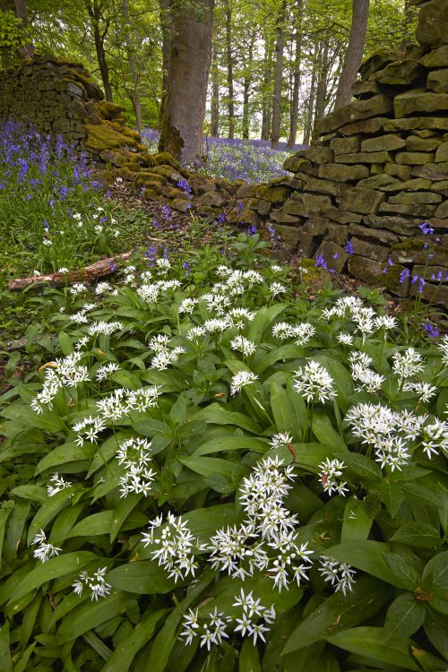 WK23 MG 9512 WILD GARLIC AND DRYSTONE WALL BOLTON BRIDGE WHARFEDALE NORTH YORKSHIRE ENGLAND