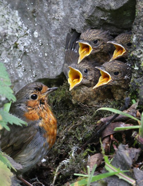 WK24 Hilary Tann Robin and Chicks